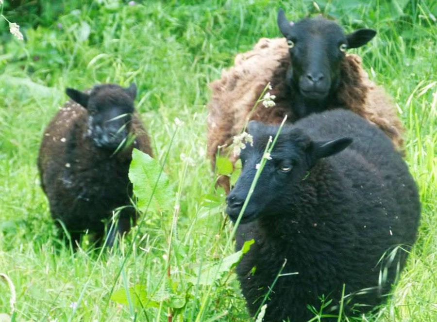 Les moutons de Ouessant